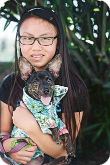 Chihuahua/Miniature Pinscher Mix Dog for adoption in Redondo Beach, California - Andre!