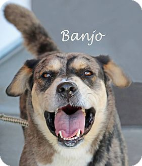 Catahoula Leopard Dog Mix Dog for adoption in Idaho Falls, Idaho - Banjo