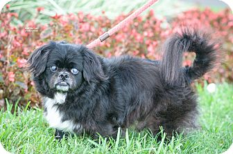 Pekingese Mix Dog for adoption in Gainesville, Florida - Deeter