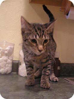 American Shorthair Kitten for adoption in DeLand, Florida - Cody