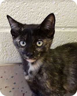Domestic Shorthair Cat for adoption in Red Bluff, California - Roseann