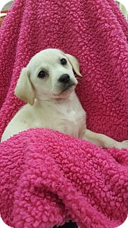 Spaniel (Unknown Type) Mix Puppy for adoption in Orland Park, Illinois - AF4