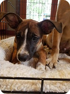 Labrador Retriever/Hound (Unknown Type) Mix Puppy for adoption in Simsbury, Connecticut - Cake - B