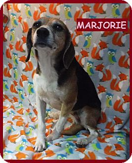 Beagle Dog for adoption in Batesville, Arkansas - Marjorie