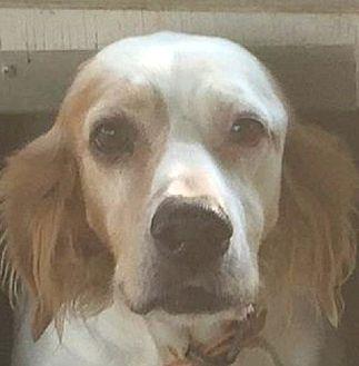 English Setter Mix Dog for adoption in Pine Grove, Pennsylvania - DIXIE