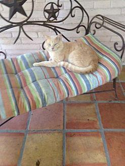 Domestic Mediumhair Cat for adoption in San Antonio, Texas - Howie