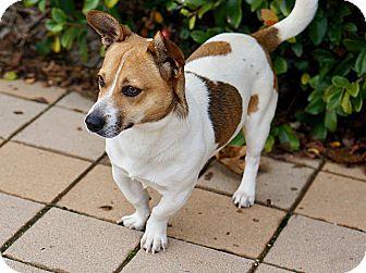 Corgi Mix Dog for adoption in Berkeley, California - Ruben