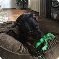 Adopt A Pet :: Bella - Acushnet, MA