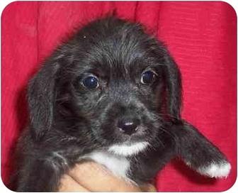 Shih Tzu/Schnauzer (Miniature) Mix Puppy for adoption in Nashville, Tennessee - Blake- Adopted