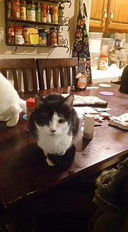 Domestic Shorthair Cat for adoption in Locust, North Carolina - Bubbles