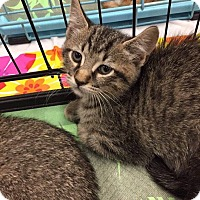 Domestic Shorthair Kitten for adoption in Mansfield, Texas - Nico