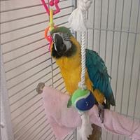 Adopt A Pet :: Milagre - Villa Park, IL