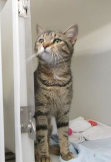 Domestic Shorthair/Domestic Shorthair Mix Cat for adoption in Ridgely, Maryland - Arianna