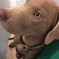 Adopt A Pet :: SAISON- Houston - Dallas, TX