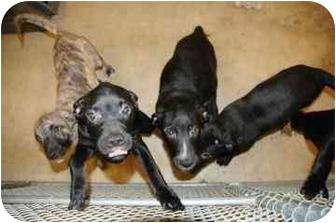 Labrador Retriever/Terrier (Unknown Type, Small) Mix Puppy for adoption in Walker, Michigan - Kobe