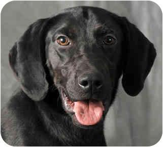 Labrador Retriever Mix Dog for adoption in Chicago, Illinois - Molly