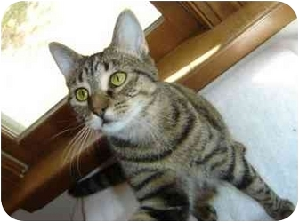 Domestic Shorthair Cat for adoption in Richmond, Virginia - Lana