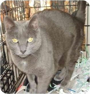 Domestic Shorthair Cat for adoption in Leoti, Kansas - Pat