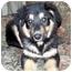 Photo 1 - Australian Shepherd/German Shepherd Dog Mix Puppy for adoption in Overland Park, Kansas - Emmy