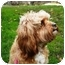 Photo 3 - King Charles Spaniel/Poodle (Miniature) Mix Dog for adoption in PRINCETON, New Jersey - Tilly