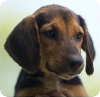 Beagle/Black and Tan Coonhound Mix Dog for adoption in Wakefield, Rhode Island - Roxie