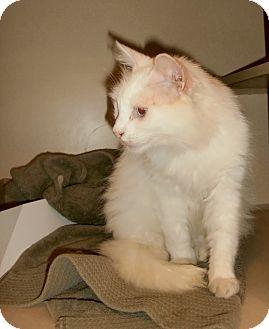 Domestic Longhair Cat for adoption in Chesapeake, Virginia - Pearl
