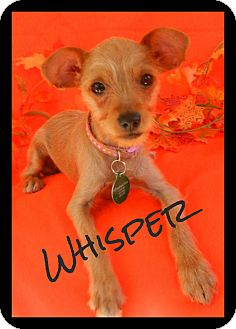 Yorkie, Yorkshire Terrier/Chihuahua Mix Puppy for adoption in Escondido, California - Whisper
