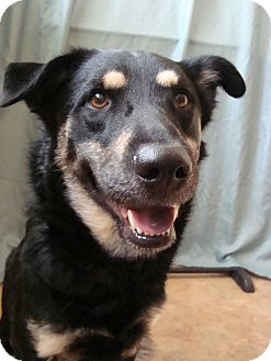 Shepherd (Unknown Type)/Collie Mix Dog for adoption in Youngwood, Pennsylvania - Bear-Bear