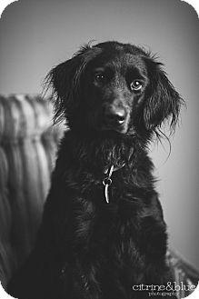 Flat-Coated Retriever Dog for adoption in Portland, Oregon - Scarlett