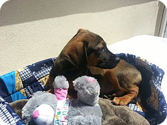 Shepherd (Unknown Type) Mix Puppy for adoption in East Rockaway, New York - BamBam