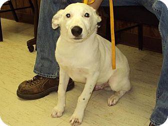 Cattle Dog Mix Puppy for adoption in Mt. Vernon, Illinois - Chauncey
