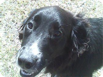 Labrador Retriever/Shepherd (Unknown Type) Mix Dog for adoption in Tipton, Iowa - George