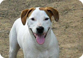 Pointer Mix Dog for adoption in Salem, New Hampshire - PISTOL PETE