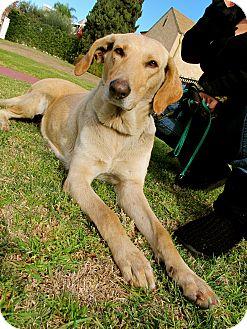 Labrador Retriever/Saluki Mix Dog for adoption in Los Angeles, California - Lovely Lizzy