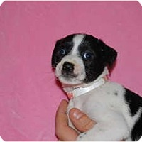 Adopt A Pet :: Oreo - Coral Springs, FL