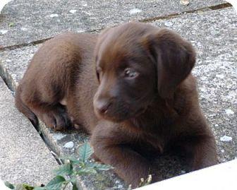 Labrador Retriever/Siberian Husky Mix Puppy for adoption in Apple valley, California - Daisy