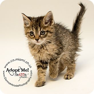 Domestic Shorthair Kitten for adoption in Troy, Ohio - Holly