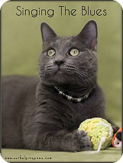 Russian Blue Kitten for adoption in Washburn, Wisconsin - Singin' The Blues