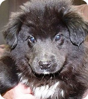 Newfoundland/Labrador Retriever Mix Puppy for adoption in Oswego, Illinois - I'M ADOPTED Nigel Bienz