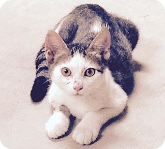 Domestic Shorthair Cat for adoption in Lake Charles, Louisiana - Vince