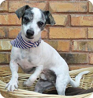 Dachshund Mix Dog for adoption in Benbrook, Texas - Spot