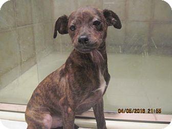 Chihuahua Mix Puppy for adoption in La Mesa, California - BRONSON