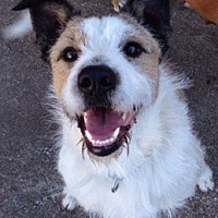 Parson Russell Terrier/Wirehaired Fox Terrier Mix Dog for adoption in Irving, Texas - Cramer