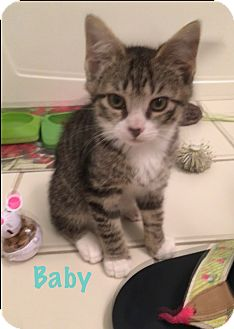 Domestic Shorthair Kitten for adoption in Jackson, New Jersey - Baby