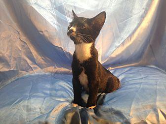Domestic Shorthair Kitten for adoption in Sarasota, Florida - Jimmy John