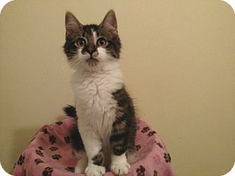 Maine Coon Kitten for adoption in Richmond, Virginia - Griffin