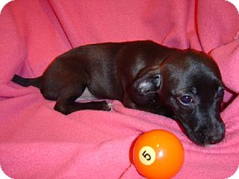 Dachshund Mix Puppy for adoption in Texarkana, Texas - R Pup5 ADOPTED MA