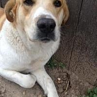 Retriever (Unknown Type)/St. Bernard Mix Dog for adoption in Quinlan, Texas - Petey