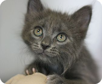 Domestic Mediumhair Kitten for adoption in Canoga Park, California - Astro Pop