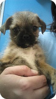 Pug/Brussels Griffon Mix Puppy for adoption in Glastonbury, Connecticut - Captain Hook ~ meet me!